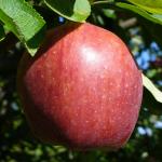 Pommes Fuji